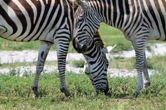 Zebras grazing. Wild african zebras eating or grazing outdoors. Hwange National Park section, Lion Country Safari, south Florida Royalty Free Stock Photos
