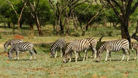 Zebras Grazing. In the wild meadows Royalty Free Stock Photography