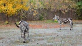 Zebras Grazing In Zoo. Two Grant's zebras grazing in autumn Zoo stock footage