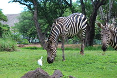 Zebras. On the green grass at Zoo Stock Photo