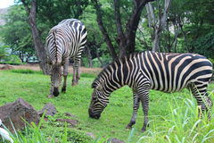 Zebras. On the green grass at Zoo Royalty Free Stock Image