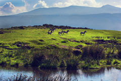 Zebras on green grassy hill. Ngorongoro, Tanzania, Africa Royalty Free Stock Image