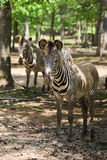 Zebras Stock Photo