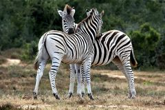 Zebras Grooming Royalty Free Stock Images