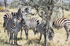 Zebras together in Serengeti, Tanzania Royalty Free Stock Images