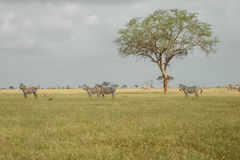 Zebras. A group of zebras in savana stock photo