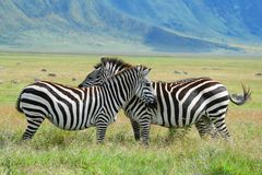 Zebras head to head. Zebras resting head to head in the ngrongoro crater Stock Images