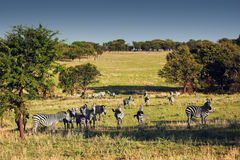 Zebras herd on African savanna. Royalty Free Stock Image