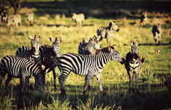 Zebras herd on African savanna. Stock Photography