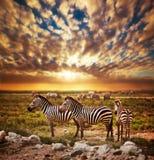 Zebras herd on African savanna at sunset.