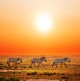 Zebras herd on African savanna at sunset. Stock Images