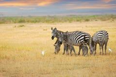 Zebras herd at dawn Stock Photo