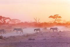 Zebras herd on dusty savanna at sunset, Africa Royalty Free Stock Image