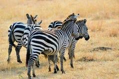 African wildlife, Kenya stock photography