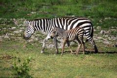 Zebras herd on savanna Stock Images