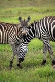 Zebras herd on savanna Stock Photos