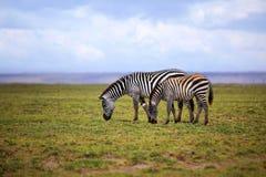 Zebras herd on savanna Stock Photo