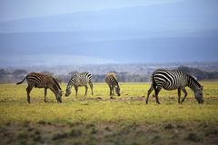 Zebras herd on savanna Royalty Free Stock Photos