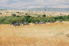 Zebras herd in the savannah, Masa-Mara, Kenya Stock Photo