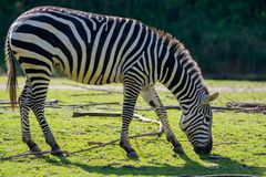 Zebras, het dier van de paardfamilie, het leven in weiden, savannas, hout royalty-vrije stock foto's