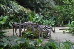 Zebras het eten Stock Afbeeldingen