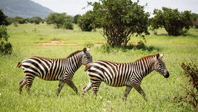 Zebras het lopen Stock Afbeeldingen