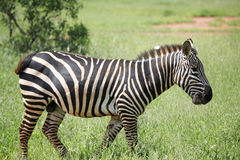 Zebras het lopen Royalty-vrije Stock Afbeeldingen