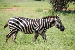 Zebras het lopen Royalty-vrije Stock Foto's