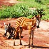 Zebras het lopen Stock Foto's
