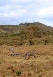 Zebras het met gras bedekken Stock Afbeelding