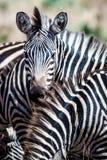 Zebras in het Nationale Park van Tarangire Royalty-vrije Stock Fotografie