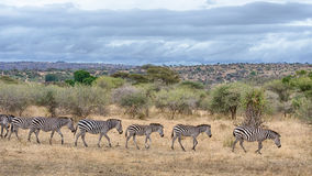 Zebras, het Nationale Park van Tarangire, Tanzania, Afrika Royalty-vrije Stock Foto's