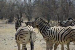 Zebras het op elkaar inwerken Royalty-vrije Stock Foto's