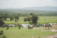 Zebras het rusten Stock Afbeelding