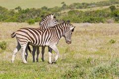 Zebras het spelen Royalty-vrije Stock Afbeeldingen