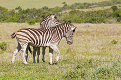 Zebras het spelen Stock Foto's