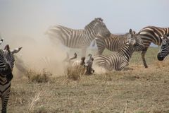 Zebras het spelen Stock Afbeelding