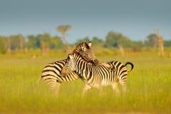 Zebras het spelen in de savanne Twee zebras in het groene gras, nat seizoen, Okavango-delta, Moremi, Botswana royalty-vrije stock afbeelding