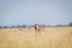 Zebras het spelen in het hoge gras Stock Afbeeldingen