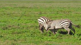 Zebras het vechten in Ndutu stock video