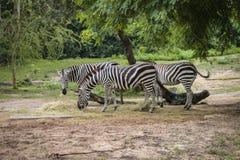 Zebras het voeden in het park stock fotografie