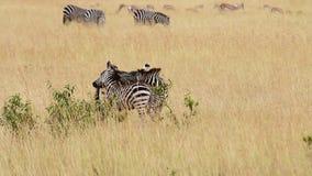 Zebras in het wederzijdse verzorgen, Masai Mara stock videobeelden