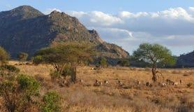 Zebras het weiden bij de Afrikaanse savanne Stock Afbeelding