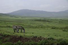 Zebras het weiden bij Ngorongoro-krater Stock Afbeeldingen