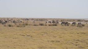 Zebras het weiden in de struik, Afrikaanse savanne Het wildsafari, het Nationale Park van Etosha, het wildreserves, Namibië, Afri stock footage