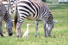 Zebras het weiden en een vogel Royalty-vrije Stock Foto