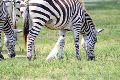 Zebras het weiden en een vogel Royalty-vrije Stock Fotografie