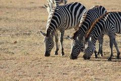 Zebras het weiden op de savanne royalty-vrije stock afbeeldingen