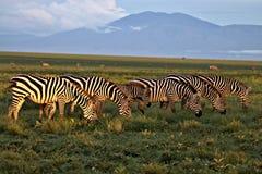Zebras het Weiden op Serengeti stock fotografie