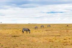 Zebras het weiden in savanne in Afrika royalty-vrije stock afbeeldingen